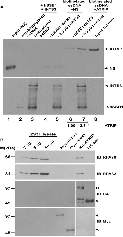 The single-strand binding protein complex, hSSB1/2-INTS3 recruits ATRIP to single-stranded DNA. (A) Myc-hSSB1, Myc-INTS3, HA-ATRIP and HA-tagged non-specific control protein (HA-NS) were individually expressed in 293T cells, purified by immunoprecipitation with anti-Myc or anti-HA antibodies and were eluted with Myc or HA peptides. For the single-stranded DNA-binding assay, streptavidin-agarose was incubated with non-biotinylated (lane 2) or biotinylated (lane 3) single-stranded DNA followed by incubation with Myc-hSSB1 and Myc-INTS3. Next, HA-ATRIP or HA-NS purified from 293T cells were incubated with streptavidin-agarose bound biotinylated ssDNA either in the absence (lanes 4 and 6) or presence (lanes 5 and 7) of bound Myc-hSSB1 and Myc-INTS3. After washing, the bound proteins were identified by immunoblotting with anti-HA (top panel) and anti-Myc (bottom panel) antibodies. 10% of NS and ATRIP utilized for binding to streptavidin-agarose has been shown in lanes 1 and 8 respectively and specific proteins have been marked by arrowheads. The control protein (NS) did not bind to hSSB1-INTS3 complex, ruling out non-specific association. The numbers indicate relative binding of HA-ATRIP to ssDNA in the absence or presence of Myc-hSSB1 and Myc-INTS3. *P-value was calculated using two-tailed t-test which displays that the ATRIP binding observed in the absence or presence of hSSB1-INTS3 complex is significantly different (*P-value = 0.043). (B) RPA complex is absent in Myc-hSSB1 and Myc-INTS3 immunoprecipitates. Myc-hSSB1, Myc-INTS3, HA-ATRIP and HA-NS proteins expressed in 293T cells and purified by elution with Myc or HA peptides following immunoprecipitation were immunoblotted with anti-RPA70 (top panel) and anti-RPA32 (second panel) antibodies for detecting endogenous RPA70 and RPA32. As reported earlier, RPA complex physically associates with ATRIP but is absent from hSSB1-INTS3 complex. Note the high sensitivity of detection of endogenous RPA70 and RPA32 in 293T cell lysate. HA-ATRIP (hollow arrowhead), HA-NS (black arrow) Myc-INTS3 (black arrowhead) and Myc-hSSB1 (shaded arrowhead) have been marked.