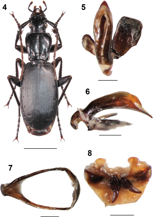 Omphreus (Omphreus) moriosandeli ssp. n. from eastern Bosnia and Herzegovina, southern slope of Mt. Zelengora, Čemerno, 1,450 m a.s.l., near Gacko. 4 holotype male, habitus (dorsal view) 5 holotype male, aedeagus (dorsal view) 6 holotype male, aedeagus (lateral view) 7 holotype male, abdominal sternite IX (urite) 8 paratype female, genitalia. Scale bars 5 mm (4) and 1 mm (5–8).