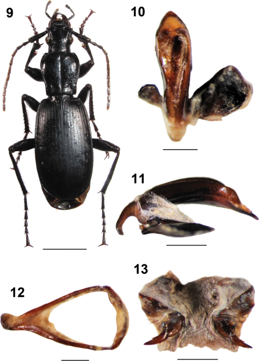 Omphreus (Omphreus) moriodurmitorensis ssp. n. from northwestern Montenegro, Mt. Durmitor, Sedlo pass, 2,100–2,200 m a.s.l., near Žabljak. 9 holotype male, habitus (dorsal view) 10 holotype male, aedeagus (dorsal view) 11 holotype male, aedeagus (lateral view) 12 holotype male, abdominal sternite IX (urite) 13 paratype female, genitalia. Scale bars 5 mm (9) and 1 mm (10–13).