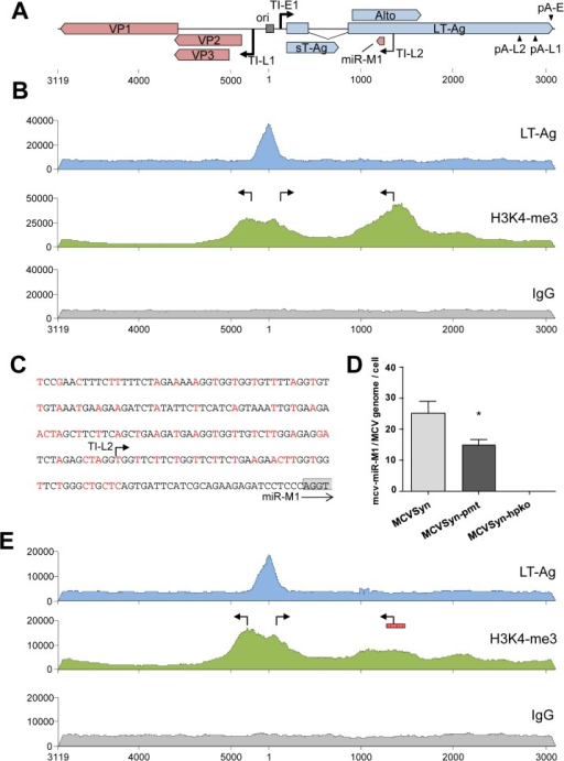 ChIP-seq analysis and miRNA expression in wt and mutated MCVSyn genomes.(A) Schematic depiction of the MCPyV genome with polyadenylation and transcriptional initiation sites as identified by RACE analyses. The position of the viral core origin of replication (ori) is marked by a grey box. (B, E) ChIP-seq profiles of LT-Ag (top panel, blue), H3K4me3 (center panel, green) or the negative IgG control (bottom panel, grey) along the MCPyV genome in PFSK-1 cells after 4 days of transfection with MCVSyn (B) or MCVSyn-pmt (E). Positions of early and late transcriptional initiation sites are marked by bent arrows pointing right and left, respectively. The putative promoter region mutated in MCVSyn-pmt is symbolized by a vertically hatched box in E. Graphs depict raw ChIP-seq read coverage; note that absolute read numbers depend on the efficiency of individual immunoprecipitations and thus only the relative coverage distribution along the viral genome is meaningful. (C) Mutations in the putative promoter region upstream of the mcv-miR-M1 locus. Substituted nucleotides are shown in red. The positions of the transcriptional initiation site TI-L2 is indicated by an arrow. The first four nucleotides of the mcv-miR-M1 locus are boxed in gray. (D) Quantitative stem-loop RT-PCR evaluation of mcv-miR-M1-5p expression in PFSK-1 cells after 4 days of transfection with MCVSyn (left), MCVSyn-pmt (center), or MCVSyn-hpko (negative control, right). Expression levels were normalized to the number of MCVSyn genomes per cell as determined by qPCR from genomic DNA. Mean values and standard deviations were calculated from three independent experiments. mcv-miR-M1 expression in MCVSyn-pmt is significantly decreased in comparison to MCVSyn (unpaired t-test).