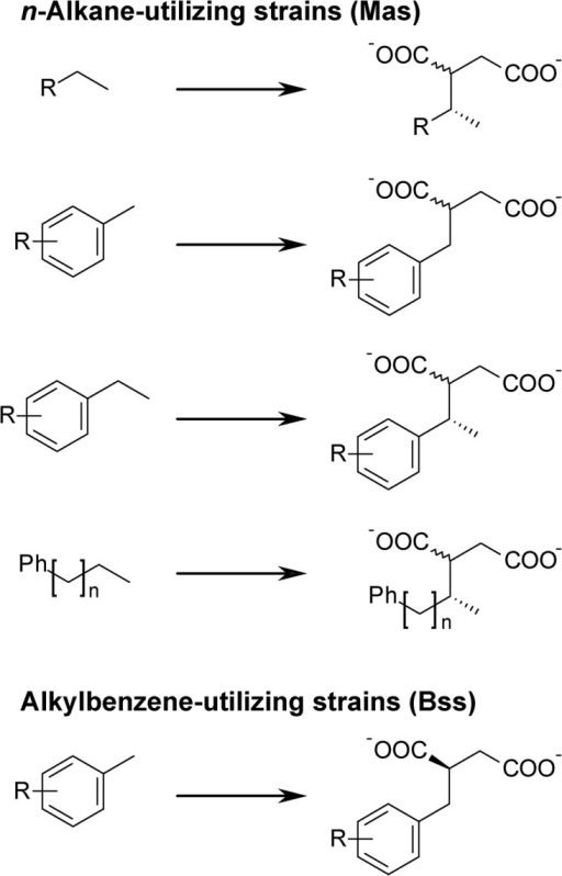 Stereochemistry of alkyl-/arylalkyl-succinates formed by different strains. Mas, methylalkylsuccinate synthase; Bss, benzylsuccinate synthase; R = H, alkyl; n = 1…8.
