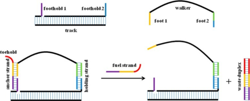 Schematicrepresentation of a DNA-based walker and track system.Footholds protrude from the track as single-stranded DNA fragments.Anchor and holding strands enable the walker unit to bind to the footholdsby hybridization. Areas with functional importance are labeled, andcomplementary strands are depicted in the same color for clarity.
