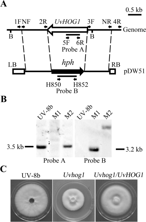 Generation of the Uvhog1 mutant.(A) The UvHOG1 locus and gene replacement construct. The UvHOG1 and hph genes are marked with empty and black arrows, respectively. 1F, NF, 2R, 3F, 4R, 5F, 6R, and NR are primers used to amplify the flanking sequences or for mutant screening. B: BamHI. LB: Left border; RB: Right border. (B) Southern blots of genomic DNA isolated from the wild type strain UV-8b, Uvhog1 mutant M1, and an ectopic transformant M2 were hybridized with probe A (left) amplified with primers 5F and 6R or probe B (right) amplified with primers H852 and H850. All DNA samples were digested with BamHI. (C) Colony morphology of the wild type, Uvhog1 mutant, and complementary strain grown on 5xYEG plates.