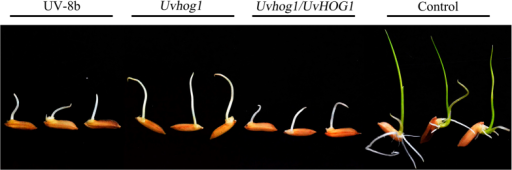 Assays for toxicity of U. virens culture filtrates with rice seeds.Seeds of rice cultivar YA-5A were incubated on filter papers soaked with blank control or filtrates of 5-day-old YT cultures of UV-8b, 7-day-old Uvhog1 mutant, and 5-day-old complementary strain. Shoot and root growth were examined after incubation at 25 °C for 5 days.