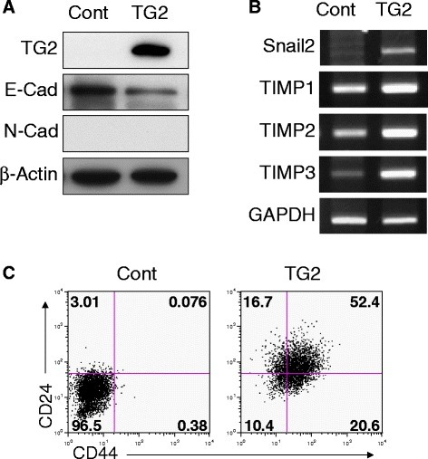 TG2 overexpression of breast cancer cells revealed EMT and stem-cell-like phenotypes. MCF7 luminal-type breast cancer cells were stably transfected with TG2 (TG2) and control vector (Cont) and EMT and stem-cell markers were compared using Western blot (a), RT-PCR (b), and flow cytometry (c). a-c All data shown are representative of three independent experiments