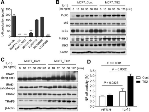 IL-1β induced IL-6 production in MCF7_TG2 cells through the IRAK1, NF-kB, JNK, and PI3K signaling pathway. a MCF7_TG2 cells were treated with IL-1β (10 ng/ml) in the presence of IRAK1/4 inhibitor (20 μM), a NF-kB inhibitor (Bay11-7082, 10 μM), a JNK inhibitor (SP600125, 10 μM), an ERK inhibitor (PD98059, 10 μM), a p38 MAPK inhibitor (SB209580, 10 μM), or a PI3K inhibitor (LY294002, 10 μM) for 48 h. IL-6 levels in culture supernatants were measured by ELISA. b MCF7_Cont and MCF7_TG2 cells were treated with IL-1β (10 ng/ml) for the indicated times. Phospho-p65, p65, Ik-Bα, phospho-JNK, and JNK were detected by Western blot. c MCF7_Cont and MCF7_TG2 cells were treated with IL-1β (10 ng/ml) for the indicated times. IRAK1, IRAK2, and TRAF6 were detected by Western blot. d MCF7_Cont and MCF7_TG2 cells were co-transfected with p3kB-Luc and pRL-TK reporter constructs for 24 h then treated with IL-1β (10 ng/nl) for 18 h. All data shown are representative of three independent experiments