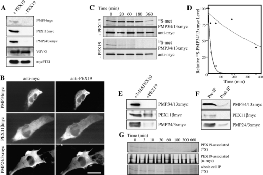 Pex19 is a PMP chaperone. (A) PEX19 expression results in increased abundance of PMPs in the cytosol. PEX3-deficient human fibroblasts were transfected with plasmids designed to express PMP34myc, PEX11βmyc, PMP24/3xmyc, VSV-G, mycPTE1, and PEX19 (+PEX19). PEX19-deficient human fibroblasts were transfected with plasmids designed to express the same test proteins and vector alone (−PEX19). Equal total protein from a membrane-free lysate of each cell sample was analyzed by immunoblot using antibodies to the c-myc epitope or to VSV-G as appropriate. (B) PEX3-deficient human fibroblasts transfected with plasmids designed to express PEX19 and either PMP34myc, PEX11βmyc, or PMP24/3xmyc were processed for indirect immunofluorescence using antibodies to the c-myc epitope (left) or PEX19 (right). Bar, 15 μM. (C) PEX19 stabilizes PMP34/13xmyc in the cytosol. PEX3-deficient human fibroblasts were transfected with plasmids designed to express PMP34/13xmyc and PEX19 (+PEX19); PEX19-deficient human fibroblasts were transfected with a plasmid designed to express PMP34/13xmyc and empty vector (−PEX19). Cells were pulsed for 15 min with [35S]methionine and chased with excess cold methionine for the times indicated. A membrane-free cell lysate of each sample was subjected to immunoprecipitation with anti-myc antibodies. Equal fractions of each IP were analyzed by autoradiography (35S) and immunoblot using anti-myc antibodies (anti-myc). (D) Relative 35S-signal intensities for each time point in B versus time with best fit exponential curves. (□, solid line), +PEX19; (♦, dashed line), −PEX19; t1/2 (+PEX19) = 300 min; t1/2 (−PEX19) = 15 min. (E) PEX19 binds multiple PMPs in the cytosol. PEX3-deficient human fibroblasts transfected with plasmids designed to express PMP34/13xmyc, PEX11βmyc, PMP24/3xmyc, and either 3xHA-PEX19 (+3xHA-PEX19) or PEX19 (+PEX19). Equal total protein from a membrane-free lysate of each cell sample was subjected to immunoprecipitation with anti-HA antibodies. IPs were analyzed by immunoblot using anti-myc antibodies. (F) The majority of cytosolic PMP is bound to PEX19. Equal amounts of lysates of 3xHA-PEX19–expressing cells from E sampled before (Pre-IP) and after (Post-IP) immunoprecipitation were analyzed by immunoblot using anti-myc antibodies. (G) PEX19 interacts with newly synthesized PMPs. PEX19-deficient human fibroblasts stably expressing 3xHA-PEX19 were transfected with a plasmid designed to express PMP34/13xmyc. Cells were pulsed with [35S]methionine for 10 min, chased with excess methionine for the indicated times, and split into two fractions. Membrane-free lysates of cells in the first fraction were subjected to immunoprecipitation with anti-HA antibodies. The samples were solubilized in SDS and subjected to a second immunoprecipitation with anti-myc antibodies. Immunoprecipitations were analyzed by autoradiography (PEX19-associated, 35S) and immunoblot using anti-myc antibodies (PEX19-associated, anti-myc). Cells from the second fraction were solubilized in 1% Triton X-100 and subjected to immunoprecipitation using anti-myc antibodies; and PMP34/13xmyc was detected by autoradiography (whole-cell IP, 35S). For PEX19-PMP34/13xmyc association, t1/2 = 15 min. For the lifetime of PMP34/13xmyc in the whole cell, t1/2 = 300 min.