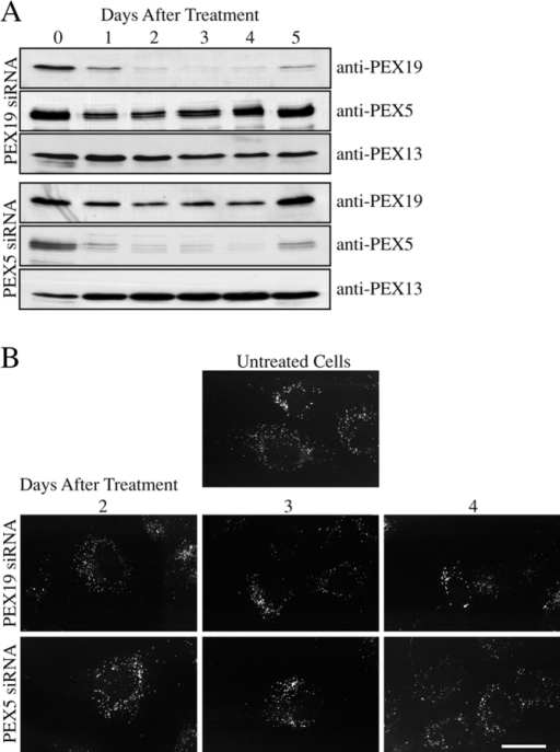 Peroxisomes persist for multiple days after inhibition of PEX19. (A) Treatment with PEX19 and PEX5 siRNA mediates specific reductions in PEX19 and PEX5 levels. Wild-type human fibroblasts were subjected to electroporation with PEX19 siRNA (top) or PEX5 siRNA (bottom). Equal amounts of protein from daily cell samples after siRNA treatment were separated by SDS-PAGE and processed for immunoblot using antibodies to PEX19, PEX5, and PEX13. (B) Peroxisomes persist for >3 d despite inhibition of PEX19. Daily cell samples after treatment with PEX19 siRNA (top) or PEX5 siRNA (bottom) were processed for indirect immunofluorescence using antibodies to the peroxisomal membrane marker PMP70. Bar, 15 μM.