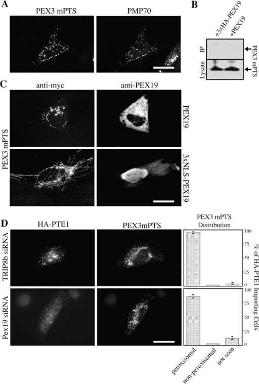 The mPTS of PEX3 functions via a PEX19-independent pathway. (A) The first 50 aa of PEX3 are sufficient for peroxisomal targeting. Wild-type human fibroblasts were transfected with a plasmid designed to express the PEX3 mPTS (PEX3aa1-50/6xmet3xmyc) and cells were processed for immunofluorescence using antibodies to the c-myc epitope (left) or PMP70 (right). Bar, 15 μM. (B) The mPTS of PEX3 does not coprecipitate with PEX19. PEX3-deficient human fibroblasts were transfected with plasmids designed to express the PEX3 mPTS and either 3xHA-PEX19 (+3xHA-PEX19) or PEX19 (+PEX19). Equal total protein from a membrane-free lysate of each cell sample was subjected to immunoprecipitation with antibodies to the HA epitope. IPs (top) and whole cell lysates (bottom) were processed for immunoblot using anti-myc antibodies. (C) The subcellular distribution of the PEX3 mPTS is not affected by PEX19. PEX3-deficient human fibroblasts were transfected with plasmids designed to express the PEX3 mPTS and either PEX19 (top) or 3xNLS-PEX19 (bottom). Cells were processed for indirect immunofluorescence using anti-myc (left) or anti-PEX19 (right) antibodies. Bar, 15 μM. (D) Inhibition of PEX19 does not affect peroxisomal targeting of the PEX3 mPTS. Wild-type human fibroblasts were subjected to electroporation with either TRIP8b siRNA (top) or PEX19 siRNA (bottom). Cells were transfected with plasmids designed to express HA-PTE1 and the PEX3 mPTS. Cells were processed for immunofluorescence using antibodies to the HA epitope (left) or the c-myc epitope (middle). Cells importing HA-PTE1 were scored as to whether the PEX3 mPTS was seen in peroxisomes, seen only in nonperoxisomal compartments, or not seen (right). Means and SD of three independent trials are presented. TRIP8b siRNA n = 311; PEX19 siRNA n = 294. Bar, 15 μM.