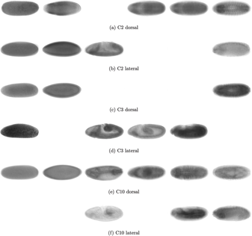 Averaged in situ images C2, C3 and C10. Averaged in situ images of genes constrained in Cluster C2 (top), C3 (middle) and C10 (bottom) allow to visually assess homogeneity of spatial distribution. From left to right, we have embryos at hours 0–3, 3–6, 6–9, 9–12, 12–15 and 15–18. Top images represents dorsal views, bottom images lateral views; not all time periods have images in both views.