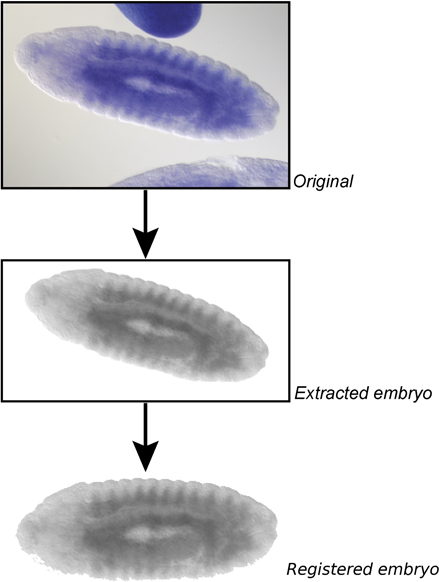 Image processing pipeline. The image pipeline combines registration, morphological operations and further processing steps to automatically process raw images, even if they include multiple touching embryos. Shown here is the image insitu8784, gene CG5353.