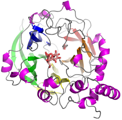 The 5-bladed β-propeller fold of the catalytic domain of glycoside hydrolase families 68 and 32. Ribbon diagram of B. subtilis levansucrase in complex with raffinose (shown as stick model).