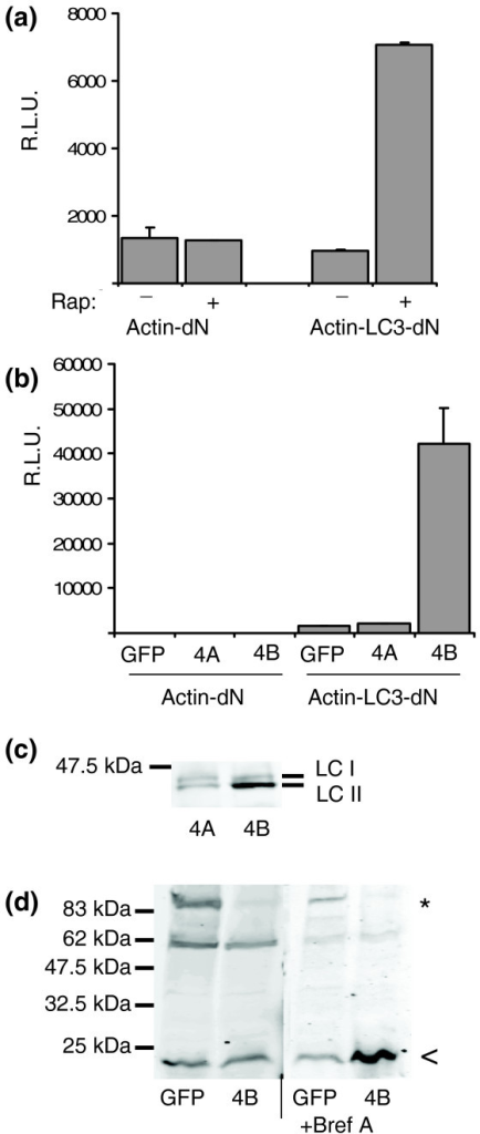 A GLUC-based sensor to monitor autophagy. (a) Rapamycin (Rap) induces release of GLUC activity from Actin-LC3-dN. Actin-LC3-dN was transfected in 293ET cells and medium was replaced after 24 h with serum-free medium containing 200 nM rapamycin for 6 h before analysis of GLUC activity in SN. (b) ATG4B but not ATG4A induces cleavage of Actin-LC3-dN. SN of 293ET cells transiently co-transfected with Actin-dN or Actin-LC3-dN and GFP, ATG4A or ATG4B were collected after 24 h and analyzed for GLUC activity. Error bars were calculated from three independent transfections. RLU, relative light units. (c) ATG4B cleaves GFP-LC3. 293ET cells transfected with GFP-LC3 and ATG4A or ATG4B were lysed in 1% NP40, resolved by 10% SDS-PAGE and blotted with anti-GFP. Full-length GFP-LC3 (LC I) runs at 45 kDa and the cleaved product runs at 43 kDa (LC II). (d) ATG4B cleaves Actin-LC3-dN to generate a small LC3-dNGLUC fragment. 293ET cells transfected with Actin-LC3-dN and GFP or ATG4B were treated for 6 h with 10 μg/ml Brefeldin A (right panel) to block secretion of cleaved dNGLUC or left untreated (left panel) before lysis in 1% NP40. Whole cell lysates were resolved by 10% SDS PAGE and blotted with an antibody raised against dNGLUC. The protein band corresponding to full-length Actin-LC3-dN is marked with an asterisk, the cleavage product is marked with an arrowhead.
