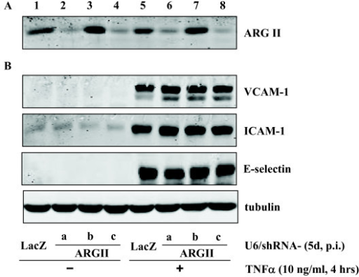 Role of arginase II silencing on TNFα-induced expression of VCAM-1, ICAM-1, and E-selectin. HUVECs were transduced with recombinant adenovirus expressing shRNA against LacZ as control (lanes 1 and 5) or arginase II (lanes 2–4 and 6 – 8). On day 4 of post transduction, cells were serum-starved for 20 h followed by stimulation with TNFα (10 ng/ml, 4 hours) and extracted. The knocking down effects of various shRNA targeting sequences were assessed by immunoblotting as shown in panel A. Panel B shows the effects on expression of VCAM-1, ICAM-1, and E-selectin. Shown are representative blots from five independent experiments.