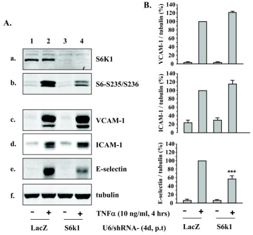 Effects of silencing S6K1 on expression of VCAM-1, ICAM-1, and E-selectin. HUVECs were transduced with recombinant adenovirus expressing shRNA against LacZ as control (lanes 1 and 2) or S6K1 (lanes 3 and 4). On day 4 of post transduction, cells were serum-starved for 20 h followed by stimulation with TNFα (10 ng/ml) for 4 hours and extracted. (A) The knocking-down effects of shRNA targeting S6K1 were assessed by immunoblotting for the expression of S6K1 (panel a) and for phosphorylation of its substrate S6 (panel b). Panels c to e reveal the effects on expression of VCAM-1, ICAM-1, and E-selectin. Shown are representative blots from five independent experiments. (B) Quantification of the signals in (A) (panels c – e). All blots were normalized to tubulin expression. Representative data from five independent experiments are reported as mean ± SEM. Values are given as percentage relative to stimulation with TNFα in the control LacZ-shRNA-transduced cells. ***p < 0.001 vs. stimulation with TNFα in the control LacZ-shRNA-transduced cells.