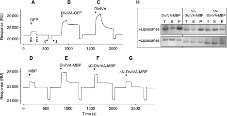 Binding of purified GFP (A), DivIVA-GFP (B) and DivIVA (C) to liposomes adhered to a Biacore L1 sensor chip. Protein samples were injected (a), and after ∼2 min, followed by an injection of buffer alone (b). The chip was regenerated by a short injection (c and d) with 0.1 M NaOH solution. The flow rate was 30 μl/min, and protein concentrations were 3.1, 1.1 and 1.5 mg/ml for GFP, DivIVA-GFP and DivIVA, respectively. The response is given in artificial resonance units (RU). (D–G) SPR analysis of DivIVA deletions that were purified as MBP fusions. The C-terminal deletion (ΔC-DivIVA-MBP) lacks the last 20 amino acids of DivIVA and the N-terminal deletion (ΔN-DivIVA-MBP) lacks the first 40 amino acids of DivIVA. Protein concentrations were 0.4 mg/ml. (H) Sedimentation analyses of the N- and C-terminal DivIVA deletions in the presence and absence of liposomes. The total fraction, before centrifugation (T), and the supernatant (S) and pellet (P) fractions after centrifugation, was analysed by SDS–PAGE.