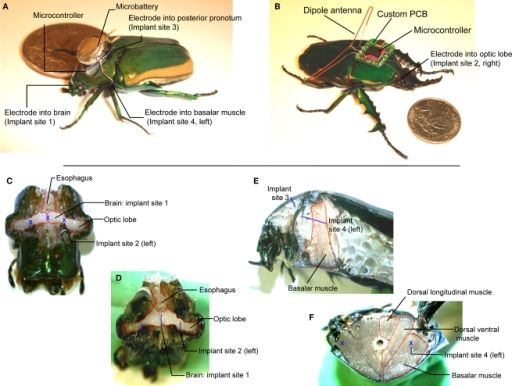 (A) Tetherless flight control system (∼230 mg total) mounted on Cotinis texana (Green June Beetle) using beeswax next to a US$ 0. 25 coin. A microcontroller provided potential pulses to four stimulating wire electrodes (∅125 μm) implanted into the brain, left and right basalar muscles and posterior pronotum (counter electrode). (B) Radio flight control system (∼1.3 g total) mounted on Mecynorrhina torquata using beeswax next to a US$ 0.25 coin. The system consisted of a microcontroller, a custom PCB, a dipole antenna, a microbattery and stimulating wire electrodes (∅125 μm) implanted as in Cotinis. (C) Front and (D) tilted views of dissected Cotinis beetle head showing the brain stimulator at implant site 1, optic lobe stimulator at implant site 2. The brain stimulator was implanted along the rostral–caudal midline of the head, at the center between the left and right compound eyes. Implant site 2 was at the interior edge of each compound eye. (E) Sagittal section of thorax showing the counter electrode at implant site 3 and the basalar muscle stimulator at implant site 4. (F) Cross-section of mesothorax showing the basalar muscle stimulator sites (implant site 4 on left and right sides). The basalar muscle stimulator was implanted midway between sternum and notum of mesothorax to a depth of approximately 1 cm in rostral–caudal direction on either the left or right side of the insect. The blue letters X and bars indicate implant sites and approximate implant lengths, respectively. Mecynorrhina torquata has nearly identical, scaled anatomy to Cotinis texana.
