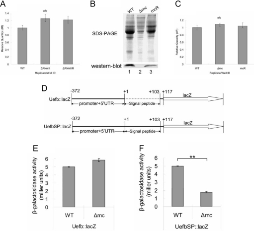 The secretion of the proteins in Δrnc was inhibited at 1.5 h.A: qRT-PCR quantification of the level of efb mRNA. The level of efb mRNA in the different strains was detected at 6 h. The results showed that the expression of efb was not regulated by RNAIII. WT: wild type; ΔRNAIII: RNAIII deletion mutant; ΔRNAIIIR: the restoration of RNAIII in ΔRNAIII. B: Detection of the expression of Efb in the extracellular proteins from the different S. aureus strains by Western blot at 1.5 h. The extracellular proteins from same number of cells were extracted from different S. aureus strains. The expression of Efb was tested with the specific antibodies of Efb (prepared by ourselves) by Western blot. The result showed that Efb couldn't be detected in the supernatant of Δrnc. 1: WT, wild type, S. aureus 8325-4; 2: Δrnc, an RNase III inactivation mutant from 8325-4; 3: rncR, the restoration of RNase III activity in Δrnc. C: qRT-PCR quantification of the mRNA level of efb at 1.5 h. The quantity of efb mRNA from different strains was measured by qRT-PCR at 1.5 h. The result showed that the level of efb mRNA wasn't changed in Δrnc. WT: wild type, S. aureus 8325-4; Δrnc: an RNase III inactivation mutant from 8325-4; rncR: the restoration of RNase III activity in Δrnc. D: The schematic diagram of construction of the reporter vectors. Uefb::lacZ: the promoter and 5′UTR of efb were fused with Lacz; UefbSP: the promoter, 5′UTR and the signal peptides of efb were fused with LacZ. E: Detection of the β-galactosidase activity of different strains. The Uefb::lacZ reporter vector was separately transferred into Δrnc and its parent strains. Then the β-galactosidase activity of different strains was measured at 1.5 h and expressed by miller units. There was no significant difference observed. The results represented a mean of three independent experiments. WT: wild type, S. aureus 8325-4; Δrnc: an RNase III inactivation mutant from 8325-4. F: Detection of the β-galactosidase activity of the cultured medium from different strains.The UefbSP::lacZ reporter vector was separately transferred into Δrnc and its parent strains. Then the β-galactosidase activities of the cultured medium were measured and expressed by miller units. Comparing with it parent stain, the β-galactosidase activitiy of the cultured medium from the Δrnc was decreased at 1.5 h. The results represented a mean of three independent experiments. WT: wild type, S. aureus 8325-4; Δrnc: an RNase III inactivation mutant from 8325-4. (**: p<0.01).