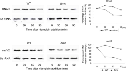 Stability of RNAs.Half-lives of secY2 mRNA and RNAIII were determined in the presence of rifampicin (500 µg ml-1) in the WT and Δrnc strains. Percentage of RNA was calculated normalizing with 5s rRNA.