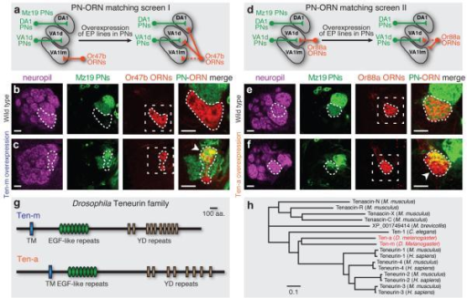 PN-ORN synaptic matching screens identify two Teneurinsa, d, Schematics showing two PN-ORN matching screens. PN dendrites are labeled by Mz19-GAL4 driving mCD8GFP and ORN axons by Or47b-rCD2 (a) or Or88a-rCD2 (d). Candidate cell-surface molecules are overexpressed only in Mz19 PNs. b-c, Or47b axons and Mz19 dendrites do not overlap in control (b), but form ectopic connections following Ten-m overexpression (c), as seen by axon-dendrite intermingling (arrowhead). e-f, Or88a axons and Mz19 dendrites connect at the VA1d glomerulus in control (e), but the connection is partially lost following Ten-a overexpression, as part of Or88a axons no longer intermingle with Mz19 dendrites (arrowhead). Target areas of Or47b (b-c) or Or88a (e-f) axons are outlined. Mismatching phenotypes are quantified in Fig. S9k and S10q. The first three columns in b,c,e,f show separate channels of the same section; the fourth shows higher magnification of the dashed squares (as in Fig. 3, 4, 5d-g.). Unless indicated, all images in this and subsequent figures are single confocal sections and all scale bars are 10 μm. g, Domain composition of Drosophila Ten-m and Ten-a. h, Phylogeny of the Drosophila Teneurins and related proteins in other species. Branch lengths represent units of substitutions per site of the sequence alignment. Teneurins are evolutionarily conserved in bilaterians and a unicellular choanoflagellate Monosiga brevicollis, but not in cnidarians.