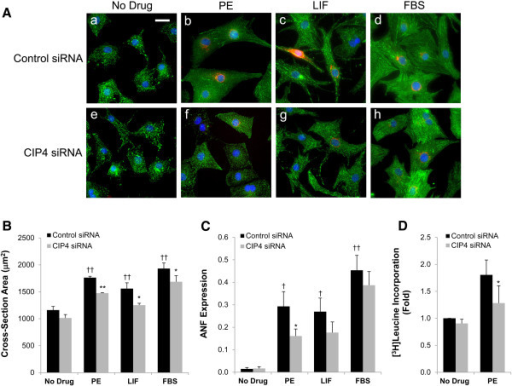 CIP4 is important for neonatal rat ventricular myocyte hypertrophy. A. Myocytes were transfected with control or CIP4 siRNA oligonucleotides and cultured ± 10% fetal bovine serum (FBS), 10 μM PE, or 1000 U/mL LIF. After treatment for 2 days, the myocytes were stained for α-actinin (green), ANF (red) and Hoechst (blue); bar = 20 μm. B. Cross-section area of myocytes in A. C. Fraction of myocytes expressing ANF in A. n = 5 for B and C. ANOVA (two-factor with replication): p-value (CIP4 siRNA vs. control siRNA) = 6 × 10-5(B) and = 0.046 (C); p-value (between culture conditions) < 10-7 for both B and C. Post-hoc testing: *p-values vs. control siRNA-transfected myocytes treated with the same agonist; †p-values vs. no drug control. D. [3H]leucine incorporation. n = 2. *p-value vs. PE-treated, control siRNA-transfected myocytes.