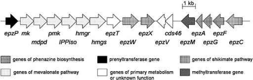 Gene cluster on cosmid 8‐4D of S. cinnamonensis DSM 1042, containing phenazine biosynthesis genes, mevalonate pathway genes and the prenyltransferase gene epzP. Further genes of endophenazine and furanonaphthoquinone I biosynthesis are contained in another genomic locus (Haagen et al., 2006).