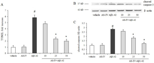 Protective effects of AS-IV on Aβ1-42-induced apoptosis in SK-N-SH cells.A. Detection of apoptosis by TUNEL assay in different groups. Percentage of TUNEL positive cells was relative to the untreated vehicle cells. #P<0.01 vs vehicle; *P<0.01 vs Aβ1-42 (n = 4). B. AS-IV inhibited Aβ1-42-induced activation of caspase-3 in SK-N-SH cells. A representative blots of immunoreactive bands for cleaved caspase-3 in SK-N-SH cells. C. Data were expressed as fold-increase of cleaved caspase-3 relative to vehicle. Protein expression levels were normalized to β-actin. #P<0.01 vs vehicle; *P<0.01 vs Aβ1-42 (n = 4).
