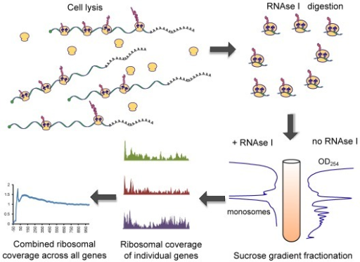 PMC4176156_gku671fig1 ribosome profiling cell lysis releases a mixture of in open i