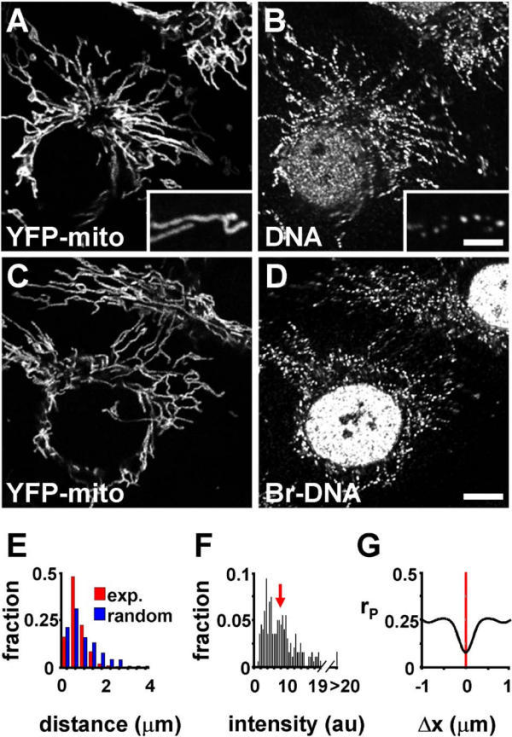 DNA in the mitochondria of fixed ECV-304 cells expressing subunit VIII of cytochrome oxidase tagged with YFP. (A,B) Two views taken with a confocal microscope of fixed cells after immunolabelling DNA. Mitochondria marked with YFP (A) contain discrete foci of mtDNA (B); nuclear DNA appears weakly labelled, presumably because most of it is inaccessible to the anti-DNA antibody, an IgM. Pretreatment (60 min; 20°C) with 25 μg/ml DNase removed >96% foci like those in (B). Insets: high-power views (bar: 2 μm). (C,D) Two similar views after growth (24 h) in BrdU, and immunolabelling the resulting Br-DNA; Br-DNA is found in nuclei and mitochondrial foci. Bar: 4 μm. (E) The distribution seen experimentally (exp) of distances between consecutive DNA foci within mitochondria (determined using images like (B); n > 500) differs significantly from a random one (p = 0.0013); foci tend to be closer together than expected. Distances (μm) are binned (that is, 0–0.4, 0.4–0.8, etc). (F) Experimental distribution (determined using 15 images like (D)) of intensities of mtDNA foci. Intensities (arbitrary units, au) are binned (that is, 0–0.5, 0.5–1, etc), the first bin contained no examples, and the arrow marks the average intensity. If the weakest focus (in bin 2) contains one genome, then the average contains ~9.2. (G) Cross-correlation analysis of mtDNA foci and the YFP-tagged subunit (using images like those in the insets in (A,B)); the low Pearson's coefficient (rP) at Δx values close to zero indicates that mtDNA is excluded from sites containing YFP.