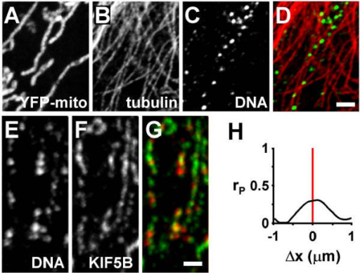 mtDNA associates with tubulin and a kinesin subunit (KIF5B). Cells with YFP-tagged mitochondria were fixed, various targets immunolabelled and imaged in the confocal microscope. (A-D) Four views of one region of the cytoplasm; mtDNA foci are found in mitochondria that are generally aligned with microtubules (mtDNA and tubulin are pseudocoloured green and red in the merge in (D)). Bar: 2 μm. (E-G) Three views of one region of the cytoplasm; mtDNA foci often lie near KIF5B (pseudocoloured red and green in the merge in (G)). Bar: 1 μm. (H) The high Pearson's coefficient (rP) at Δx values close to zero indicates that mtDNA lies near KIF5B.