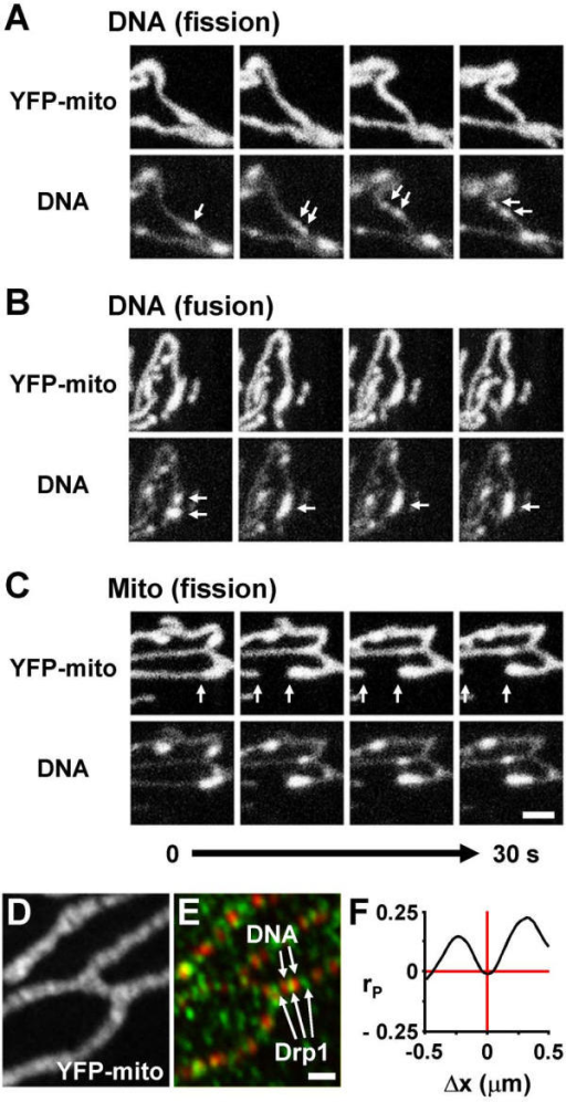 Fusion and fission of mitochondria and mtDNA foci. (A-C) Four pairs of frames (collected at 10 s intervals) from three movies of living cells (made as in Figure 4A,4B) showing YFP and ethidium fluorescence (marking mitochondria and mtDNA, respectively) are illustrated. Arrows mark a mtDNA focus that splits (A), two foci that fuse (B), and the point where a mitochondrion splits next to one mtDNA focus to give two separate tips (C). Bar: 1 μm. (D-F) Cells with YFP-tagged mitochondria were fixed, DNA and Drp1 immunolabelled with Cy5 and Cy3, and imaged; two views of one cell are shown in (D) and (E). In the merge (E), mtDNA often lies next to Drp1, which is also found in the cytoplasm [34]. Bar: 1 μm. A cross-correlation analysis of the distribution of mtDNA and Drp1 (data from 15 images like those in (D,E)); Pearson's coefficient (rP) indicates that Drp1 is excluded from ~0.3 μm to each side of mtDNA foci (F).