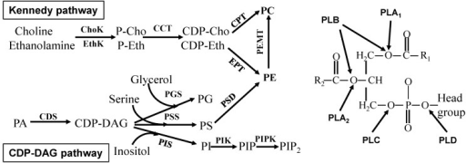 Glycerophospholipid metabolism. Left, glycerophospholipid synthesis; Right, glycerophospholipid degradation. The enzymes are choline kinase (ChoK), ethanolamine kinase (EthK), cytidine 5'-triphosphate (CTP)-phosphocholine (or phosphethanolamine) cytidylyltransferase (CCT), cholinephosphotransferase (CPT), ethanolaminephosphotransferase (EPT), phosphatidylethanolamine N-methyltransferase (PEMT), CDP-diacylglycerol synthase (CDS), phosphatidylglycerol synthase (PGS), phosphatidylserine synthase (PSS), phosphatidylserine decarboxylase (PSD), phosphatidylinositol synthase (PIS), phosphatidylinositol kinase (PIK), phosphatidylinositol phosphate kinase (PIPK), phospholipase A1 (PLA1), phospholipase A2 (PLA2), phospholipase B (PLB), phospholipase C (PLC), and phospholipase D (PLD). P-Cho, phosphocholine; P-Eth, phosphoethanolamine; CDP-Cho, CDP-choline; CDP-Eth, CDP-ethanolamine; PA, phosphatidic acid; PC, phosphatidylcholine; PE, phosphatidylethanolamine; PG, phosphatidylglycerol; PS, phosphatidylserine; PI, phosphatidylinositol; PIP, phosphatidylinositol phosphate; PIP2, phosphatidylinositol bisphosphate; R1 and R2, acyl group; and Head groups are choline, inositol, serine, ethanolamine or glycerol.
