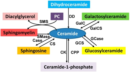 Sphingolipid metabolism. Ceramide is a key intermediator in sphingolipid metabolism. The enzymes involved in sphingolipid metabolism are ceramidase (Case), ceramide kinase (CK), ceramide-1-phophosphate phosphatase (CPP), ceramide synthase (CS), dihydroceramide desaturase (DD), galactosylceramide synthase (GalCS), galactocer (GalC), glucosylceramide synthase (GCS), glucosylceramidase (Gcase), sphingomyelinase (Smase), and sphingomyelin synthase (SMS). Many of these products play an important role in cell signaling which regulates a variety of cellular functions. SMS converts phosphatidylcholine (PC) and ceramide to sphingomyelin and diacylglycerol which brings two major classes of lipids in cell metabolism and signaling.
