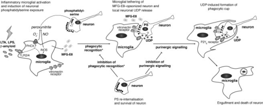 "Schematic representation of the molecular mechanism leading to phagoptosis of neurons by microglia during inflammation. We have previously shown (marked by asterisk) that microglial inflammation causes production of nitric oxide (NO) and superoxide (O2−), forming peroxynitrite and leading to neuronal phosphatidylserine (PS) exposure. Exposed PS is then recognized by the bridging protein MFG-E8, which also binds the microglia vitronectin receptor leading to neuronal ""tethering"" (Fricker et al., 2012a; Neher et al., ,; Neniskyte and Brown, 2013). Here, we show that release of UDP and its activation of the P2Y6 receptor is also required for the uptake and death of stressed but otherwise viable neurons."