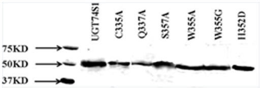 Western blot of HisTag-purified proteins from the wild type and six mutant UGT74S1 protein variants probed with antiXpress antibody.Mutant proteins are indicated by their one-letter amino acid codes. W, Tryp; C, Cys; Q, Gln; A, Ala; S, Ser; H, His; D, Asp. M, Western C precision plus protein marker mixed with conjugant (BioRad).
