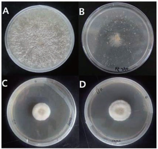 Growth inhibition effect in Rhizoctonia solani Kuhn AG-1(IA) of hexaconazole emulsion and Ginkgo biloba outer seedcoat extract on PDA culture medium as growth photos from 7th day after inoculation of hypha, A: Untreated control plot, B: hexaconazole emulsion (250 mg/l), C: Ginkgo biloba outer seedcoat extract (500 mg/l), D: treatment levels that G. biloba outer seedcoat extract (250 mg/l) is mixed.