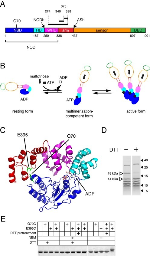 Residue 70 of the MalT NBD can be cross-linked with residues of the arm domain. (A) Schematic representation of the MalT primary sequence. NBD, nucleotide binding domain; HD helical domain; WHD, winged-helix domain; DBD, DNA-binding effector domain. In the upper part of the cartoon, the location of residue Q70 and the limits of the peptides (black bars and dotted lines) that were found cross-linked to AET-derivatized C70 after irradiation of HMalTC-,Q70C in the resting form, followed by endoproteinase LysC or trypsin digestion (see text), are indicated. NODh and ASh indicate the proteinase K sensitive hinges (34). (B) The STAND activation scheme of MalT (same color coding). The transition from the resting to the multimerization competent form involves three events: inducer binding to the sensor, NOD isomerization, nucleotide exchange. The precise sequence of these events is not known, and the role of the sensor and the arm in this process is unclear (indicated by dotted outlines). (C) Model of the MalT structure from aa 1 to 417. Color coding is as in (A) except for Q70 and E395, which are represented in green. ADP is colored according to its atoms. (D) Analysis of endoproteinase LysC proteolysis products of AET-cross-linked HMalTC-,Q70C (See also Fig. S1B, C, D). Endoproteinase LysC digests of 4 µg HMalTC-,Q70C were analyzed by SDS-PAGE in the presence (+) or absence (-) of DTT. Molecular weight of markers are indicated in kDa, 18 kDa and 14 kDa fragments are highlighted. (E) HMalTQ70C,E395C disulfide bond formation detected by SDS-PAGE. Proteins HMalT, HMalTQ70C, HMalTE395C and HMalTQ70C,E395C were analyzed by SDS-PAGE in the presence and absence of DTT. The + signs indicate the subsitution(s) harboured by the protein (Q70C, E395C), whether the protein was pretreated with DTT as a first step (DTT pretreatment, see Supplementary Materials and Methods), whether the sample was treated with N-ethylmaleimide (NEM) and whether DTT was present during SDS-PAGE analysis (DTT).