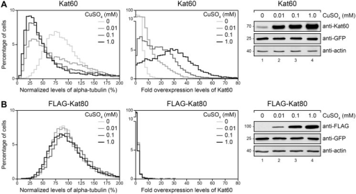 Inducible expression of Kat60 results in measurable microtubule disassembly in our single-cell assay.(A and B) Histograms of normalized levels of alpha-tubulin (Left) and fold overexpression levels of Kat60 (Middle) in Drosophila S2 cells stably expressing GFP and copper-inducible Kat60 (A) or FLAG-Kat80 (B) that were treated with both Kat60 and Kat80 UTR dsRNA for 7 days total. The cells described in A and B were also treated with 0 (light gray), 0.01 (medium gray), 0.1 (dark gray), or 1.0 mM CuSO4 (black) for 20 hours and immunostained for alpha-tubulin and Kat60. Normalized levels of alpha-tubulin are expressed as a percentage of the mean levels of alpha-tubulin in cells stably expressing GFP alone that were treated with both Kat60 and Kat80 UTR dsRNA for 7 days total. Fold overexpression levels of Kat60 are expressed as a fraction of the difference in the mean levels of Kat60 between cells stably expressing GFP alone that were treated with control and both Kat60 and Kat80 UTR dsRNA for 7 days total. Data are pooled from three independent experiments (see S1 Table for summary statistics of the single-cell measurements collected). (Right) Immunoblots of cell lysates prepared from the cells described in A and B. Molecular weights (in Kd) are shown on the left.