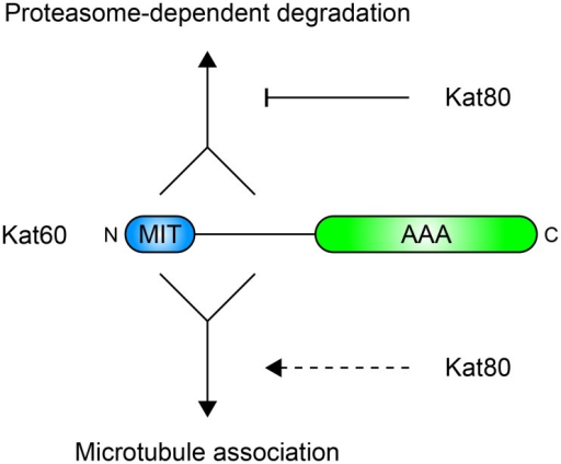 Model for regulation of Drosophila katanin by its non-catalytic domains.Schematic representation of the proposed contributions of the non-catalytic domains of Drosophila katanin to its proteasome-dependent degradation and microtubule association. Converging solid lines indicate cooperation between the MIT domain and linker region of Kat60 and solid lines with arrowheads indicate enhancement of the proteasome-dependent degradation and microtubule association of Kat60 by its MIT domain and linker region. The solid line with a blunt arrowhead indicates reduction of the proteasome-dependent degradation of Kat60 by Kat80 and the dashed line with an arrowhead indicates alteration of the microtubule association of Kat60 by Kat80. See text for details.
