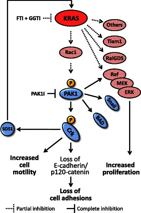 Cooperative disruption of signaling network downstream of mutated KRAS. Schematic view of KRAS/PAK1/Crk signaling pathway is demonstrated. Partial inhibition of KRAS signaling output by tolerable dose of prenylation inhibitors (i.e., FTI + GGTI) in addition to inhibition of a prominent KRAS effector (i.e., PAK1) result in dramatic anti-tumor effects. FTI: farnesyltransferase inhibitor, GGTI: geranylgeranyltransferase inhibitor, PAK1I: p21 associated kinase 1 inhibitor.