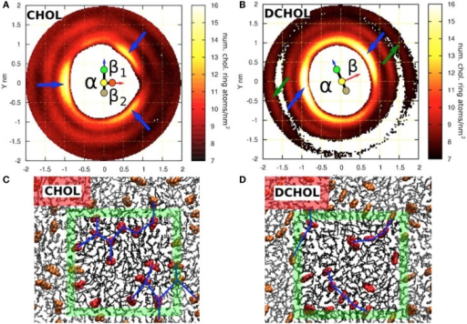 Sterol–sterol in-plane distribution and configurations of sterol molecules in a DSPC bilayer with 20 mol% sterol. Two-dimensional density distribution for the ring atoms of (A) cholesterol around a tagged cholesterol and (B) Dchol around a tagged Dchol. Both (A,B) show a schematic representation of the tagged sterol (see also Figure 1). The β-face of cholesterol is divided into two sub-faces: β1 and β2. (A) shows that cholesterols avoid the first coordination shell, instead forming a clear second coordination shell. The three emerging peaks, each on a different face, are marked with blue arrows. (B) shows that the two sides of Dchol behave in a similar manner as the smooth α-face of cholesterol. No Dchol is seen in the first coordination shell, and peaks (marked with blue arrows) are observed on both faces. Some structure is still visible in the outer coordination shell around 1.8 nm. Two peaks, which are collinear with the previous ones, are marked with green arrows. This reflects a strong preference to form linear Dchol–Dchol structures. (C,D) show a top view of an equilibrated configuration of (C) a DSPC/cholesterol bilayer and (D) a DSPC/Dchol bilayer. Only one leaflet is drawn for clarity. PC molecules are shown as black sticks and sterols with a red space-filling model. The boundary of the simulation box is marked with the green square and color brightness. (C) shows the connections between neighboring cholesterol molecules forming triangular patterns, whereas in (D), the connection patterns formed by Dchol molecules are clearly linear. This fundamental difference is due to the missing out-of-plane methyl groups in the Dchol molecule. Figure adapted from Martinez-Seara et al. (2010).