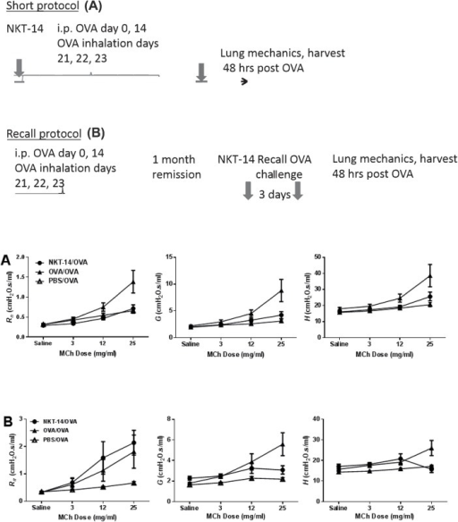 A) BALB/c female mice (8 per group) were treated with NKT14 (NKT-14/OVA) three days before being sensitized on days 0 and 14 with i.p. injections of OVA in ImjectAlum and then exposed to inhalational challenges with 1% OVA or control saline on days 21, 22, and 23. AHR was determined by methacholine challenge two days later. OVA/OVA are non-treated positive control mice and PBS/OVA mice were sham-sensitized negative controls. At the methacholine dose of 25 mg/ml NKT-14 treatment (NKT-14/OVA) significantly reduced the response in Rn compared with OVA/OVA (p<0.001); NKT-14 treatment also reduced the response in G (p<0.0001) and H, p<0.01) compared with positive control (OVA/OVA). B) Mice were sensitized on days 0 and 14 with i.p. injections of OVA in ImjectAlum and then exposed to inhalational challenges with 1% OVA or control saline on days 21, 22, and 23 and then again once after a 30 day recovery phase.AHR was determined by methacholine challenge two days later. iNKT cells were depleted with NKT14 three days before the final antigen challenge. At the methacholine dose of 25 mg/ml NKT-14 treatment (NKT-14/OVA) significantly increased the response in Rn compared with sham control (PBS/OVA) (p<0.01), whereas positive control (OVA/OVA) was significantly increased over PBS/OVA (p<0.05). However, the response in G was significantly reduced by NKT-14 compared with OVA/OVA (p<0.001). The response in H was also reduced by NKT-14 compared with OVA/OVA (p<0.001) Positive control group (OVA/OVA) was significantly increased over the sham control group (PBS/OVA) in G and H, p<0.0001 and p<0.001 respectively. Depletion of lung iNKT cells was confirmed by flow cytometry after euthanasia, but no differences in CD4+ or CD8+ cells were noted (S3 Fig). Analysis of Broncho alveolar fluid (BALF) found no differences in total cells across treatment groups. BALF eosinophils increased as both a percent and as absolute counts following sensitization. A small, but significant elevation of eosinophils was observed in NKT-14 treated mice compared to OVA/OVA mice (Data not shown).