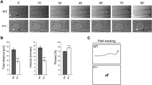 P1 deficiency affects dynamic properties of nuclei. (A) Phase contrast images were taken from time-lapse recordings of selected wild-type and P1−/− myotube nuclei (dashed lines). Note slower movement of P1−/− compared with wild-type nuclei over time. White and black arrowheads, starting and endpoints of movement, respectively. Scale bars, 10 µm. (B) Statistical quantification of nuclear dynamics in wild-type and P1−/− myotubes. Error bars ± SEM, three experiments, n = 33 nuclei analyzed (each for WT and P1−/− cells). ***P < 0.001. (C) Migration traces (manual path tracking) of nuclei shown in (A).