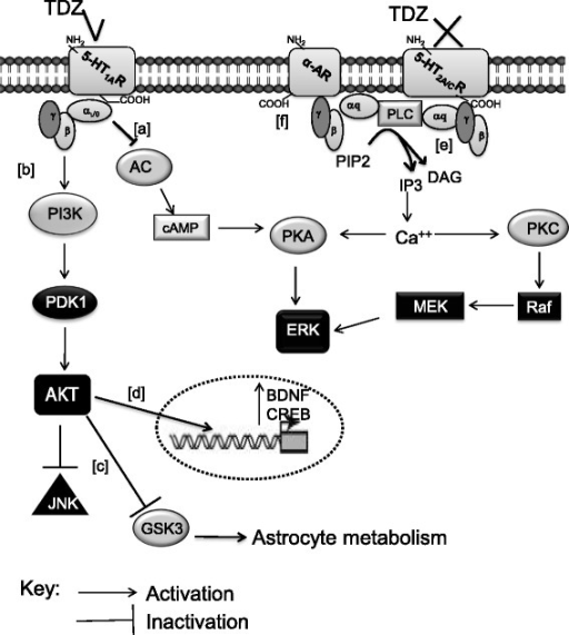 The possible intracellular route of TDZ in human astrocytes. Schematic overview of the possible TDZ/ERK/AKT/JNK signalling pathways in our experimental model is depicted. In astrocytes, the 5-HT1AR is coupled to Gαi/o proteins [83]; its activation by TDZ decreases ERK phosphorylation via Gαi/o protein ([a]) [84, 85], and increases AKT phosphorylation ([b]) [92, 93]. The PI3K/AKT pathway may contribute to deregulate JNK. Moreover, AKT phosphorylates GSK3, blocking in turn its activity, leading to alteration of astrocyte metabolism ([c]) [92, 93]. TDZ enhances CREB and BDNF transcription via a PI3K/AKT pathway ([d]). 5-HT2A/CRs may couple to Gαq proteins [40]; TDZ, showing an antagonistic activity on 5HT2A/CRs, may reduce ERK activation ([e]). TDZ antagonizes α-ARs ([f]), contributing to reduce JNK phosphorylation. Abbreviations: AC: adenylyl cyclase; cAMP: cyclic adenosine monophosphate; PKA: protein kinase A; PKC: protein kinase C; CREB: cAMP response element-binding protein; BDNF: brain-derived nerve factor; ERK: extracellular signal-regulated kinase; PI3K: phosphatidylinositol-4,5-bisphosphate 3-kinase; GSK3: glycogen synthase kinase 3; PDK1: 3-phosphoinositide dependent protein kinase-1; JNKs: c-Jun N-terminal kinases; PLC: Phospholipase C; PIP2: phosphatidylinositol 4,5-bisphosphate; IP3: inositol trisphosphate; DAG: diacyl-glycerol