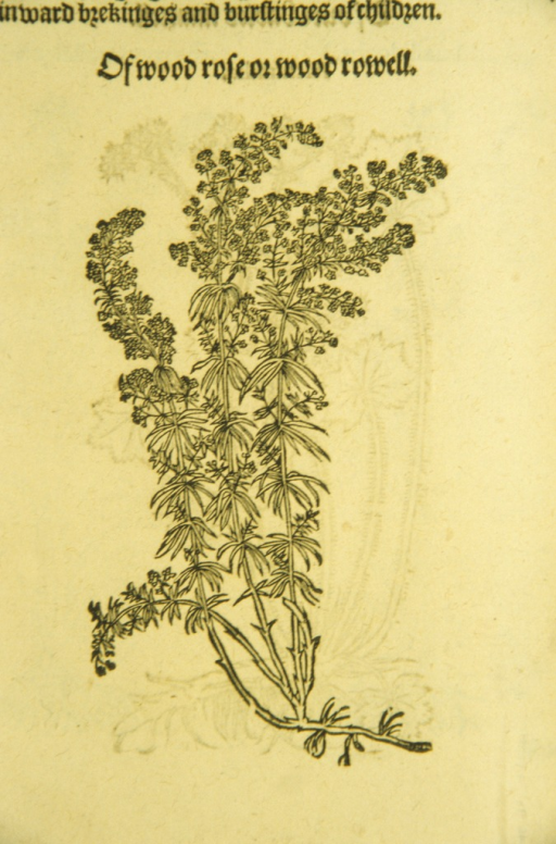 <p>Woodcut illustration of wood rose.</p>