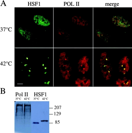 RNA polymerase II is concentrated within nuclear stress granules. (A) RNA polymerase II (red) was detected by immunofluorescence together with HSF1 (green) in non–heat-shocked and heat-shocked HeLa cells. At 37°C, HSF1 is diffusely distributed in the nucleoplasm and cytoplasm while RNA polymerase II displays a fine nuclear punctate staining. After 1 h at 42°C, HSF1 is massively recruited to nuclear stress granules, and RNA polymerase II is also found accumulated in these structures (yellow in the merged image), in addition to a remaining diffuse staining of the nucleus. Bar, 5 μm. (B) Total cell extracts prepared from non–heat-shocked (37°C) or heat-shocked (1 h at 42°C) cells were analyzed by Western blot. The blot was sequentially detected with 7C2 anti-RNA polymerase II antibody (left) and with rabbit anti-HSF1 antibody (right). No cross-reactivity of the antibodies is observed. The lowered HSF1 mobility observed in the 42°C sample is due to stress-induced posttranslational modifications of the protein (for review see Pirkkala et al., 2001).