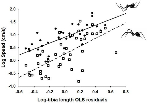 Relationship between leg length and running performance in the hanging spider Anelosimus aulicus.Solid line and filled circles: bridging underneath a silk line (i.e., pendular motion); Dashed line and open squares: running on the ground (i.e., inverted pendular motion). The x-axis represents OLS residuals, which have been calculated from an OLS regression between the foreleg tibia length and body size (carapace width). See text for statistical analyses.