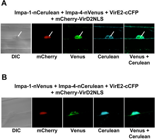 Multi-color BiFC experiments using onion epidermal cells. Onion cells were transfected by particle bombardment and visualized using laser scanning confocal microscopy. Labels above each set of panels indicate the various constructions introduced into the cells. Labels below each set of panels indicates the filter set/channel imaged. mCherry-VirD2NLS labels the nucleus. Note that, regardless of the tag, Impa-1 localizes to the cytoplasm and Impa-4 localizes predominantly to the nucleus, with some cytoplasmic staining. In Panel A, the arrows indicate a gold particle in the nucleus. Imaging of gold particles results from 458 nm and 488 nm laser reflection. Because Cerulean images weakly using the Zeiss LSM510 Meta confocal microscope, the Cerulean images in Panels A and B were digitally enhanced by adjusting the brightness and contrast, in accordance with [22]. DIC, differential interference contrast image.