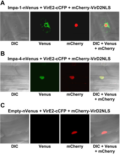 Control experiments show specificity of multi-color BiFC experiments. Onion cells were transfected by particle bombardment and visualized using laser scanning confocal microscopy. Labels above each set of panels indicate the various constructions introduced into the cells. Labels below each set of panels indicates the filter set/channel imaged. mCherry-VirD2NLS labels the nucleus. In Panels A and B, respectively, VirE2-cCFP interacts with Impa-1-nVenus or Impa-4-nVenus expressed individually. Localization of yellow fluorescence is identical to that seen when both prey proteins are co-expressed with VirE2-cCFP. Note that in Panel C, yellow fluorescence is not reconstituted in the absence of interacting bait and prey proteins. DIC, differential interference contrast image. Size bars indicate 50 microns.