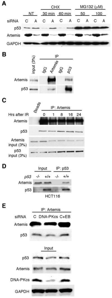 "Artemis acts at the posttranslational level and interacts with p53(A) Immunoblot showing that accumulation of p53 induced by Artemis depletion is not inhibited by the translation inhibitor cycloheximide (CHX) in U2OS cells. P53 accumulation occurs in the presence of the 26S proteosome inhibitor MG132 with or without Artemis depletion. (B) Reciprocal co-IP assays performed in HCT-116 cells between Artemis and p53. ""IgG"" indicates a nonspecific immunoglobulin. (C) Co-IP assay showing that Artemis interacts with p53 before and after IR treatment in HCT-116 cells. IR dose was 6 Gy, and the ""0"" lane indicates cell that were not irradiated. ""Beads"" indicates assay performed without Artemis antibody. (D) Co-IP between p53 and Artemis is not observed in p53-deficient HCT-116 cells. (E) Co-IP between p53 and Artemis occurs after depletion of DNA-PKcs. ""C+EB"" indicates control siRNA and that the co-IP was performed in the presence of ethidium bromide."